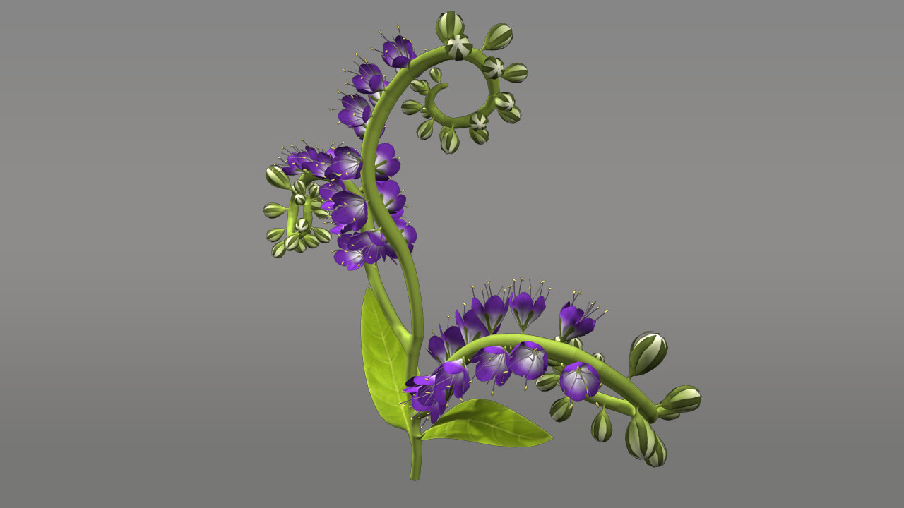 3d model heliotropium flowering