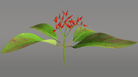 3d model hamelia flowering