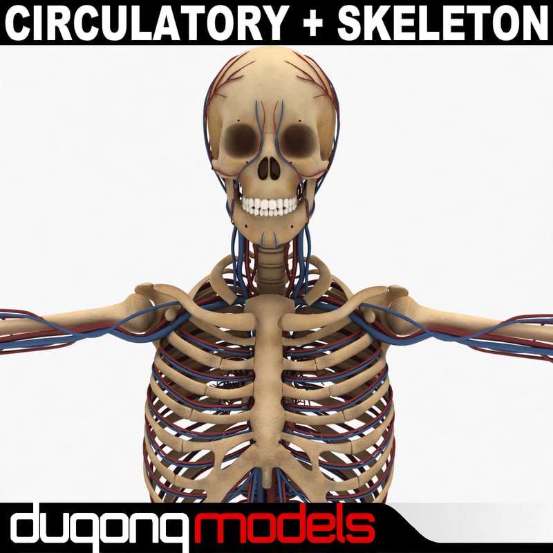 dugm01 human circulatory skeleton 3d model