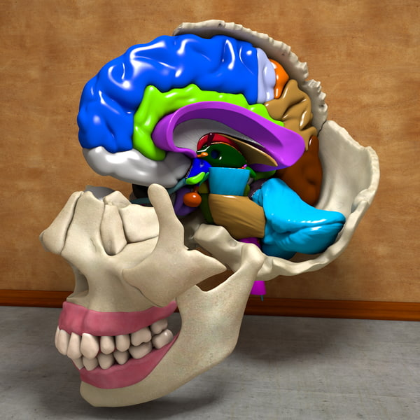 3d anatomical human skull brain