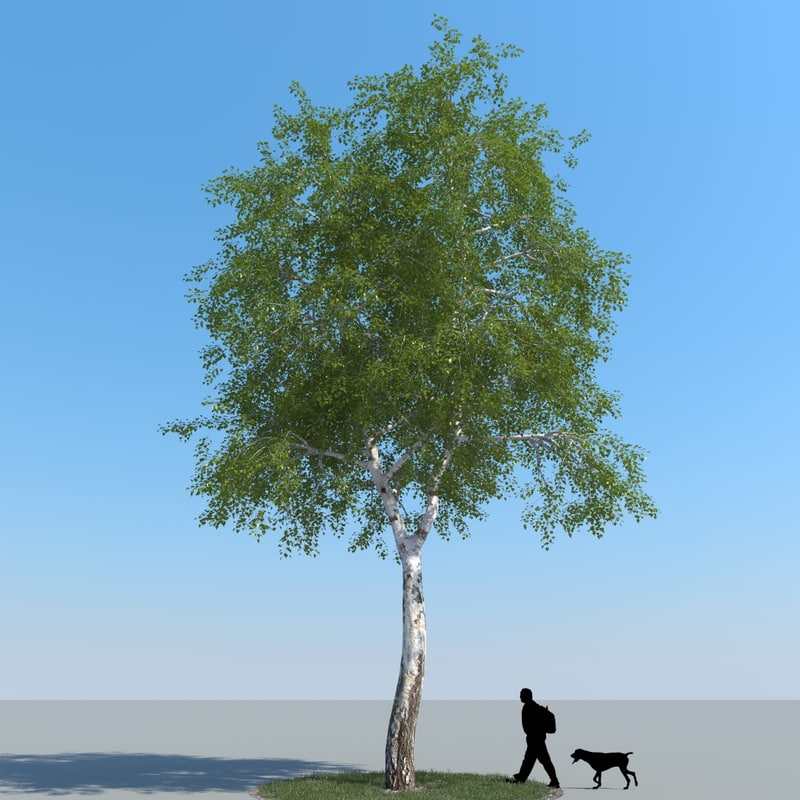 3d realistic birch tree
