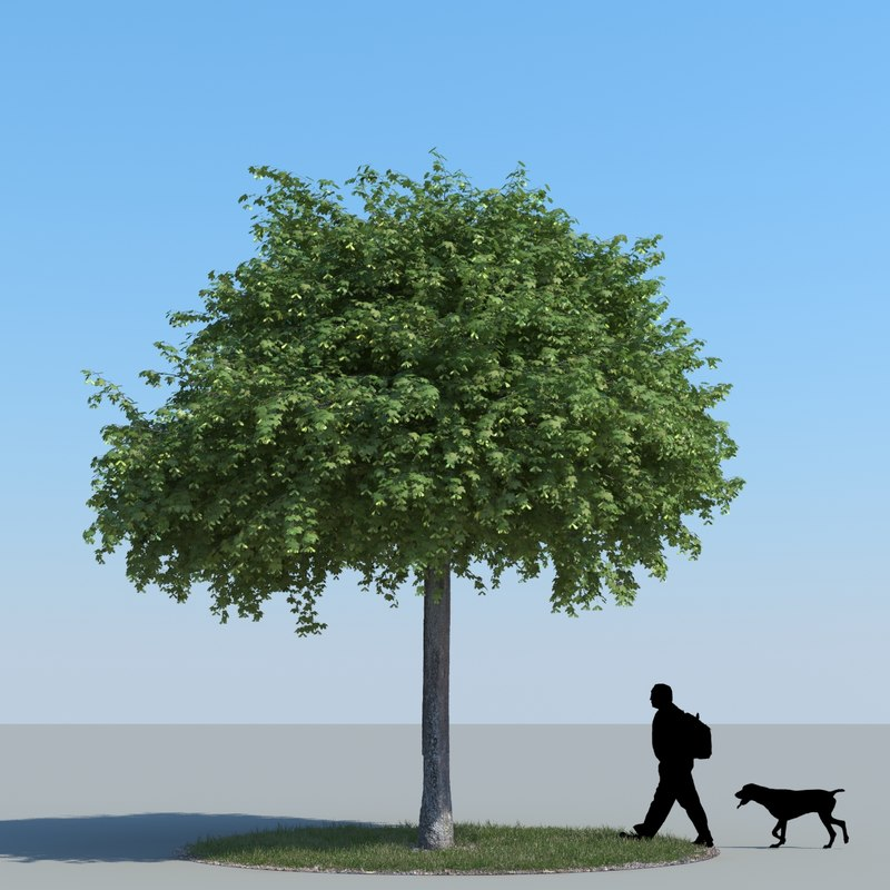 3d model realistic maple tree