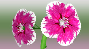 dianthus flowering 3d model