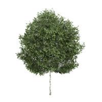 Silver Birch 1 (Betula pendula)