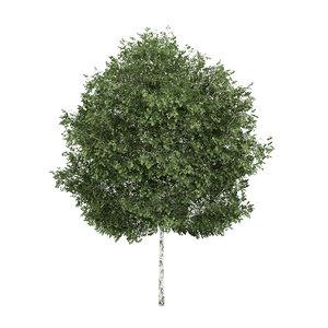 3d silver birch betula
