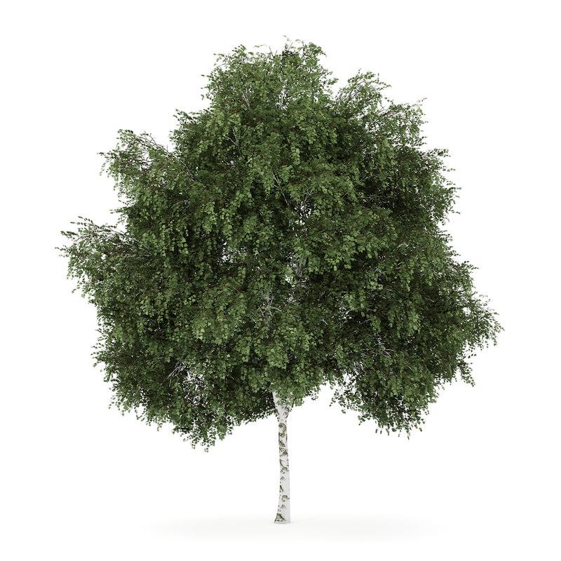 3d model silver birch betula