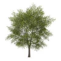 3dsmax poplar populus