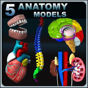 anatomy human max