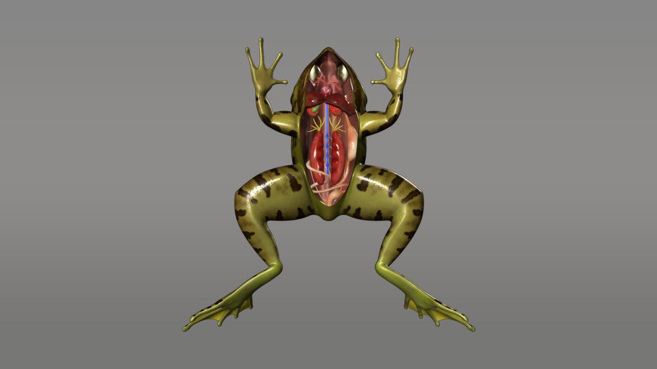 frog digestive obj