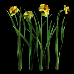 model narcissus daffodil