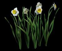 3d model narcissus daffodil jonquil