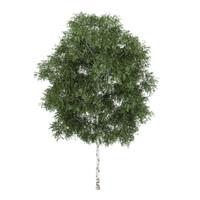 silver birch betula 3d model