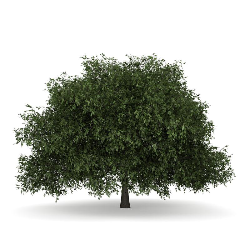 english oak quercus c4d