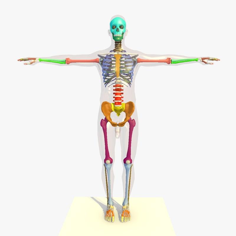 3d model colour skeleton anatomy man human