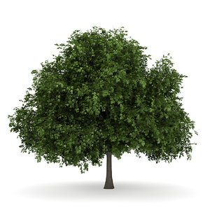 small leaved lime 3d model