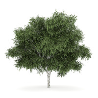 maya silver birch betula