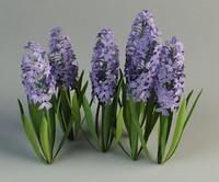hyacinth hyacinthus flower max