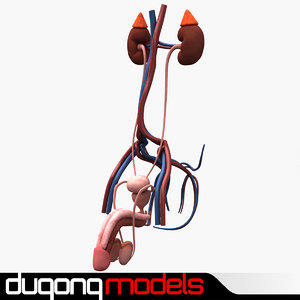 3d model dugm01 male urinary reproductive