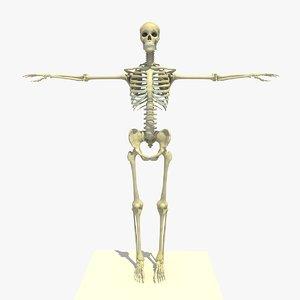 3d skeleton anatomy man human