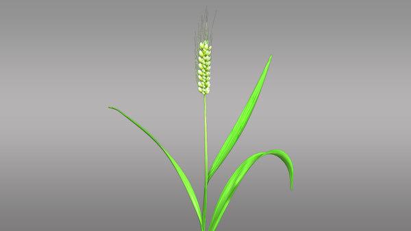 3d triticum cereal wheat model