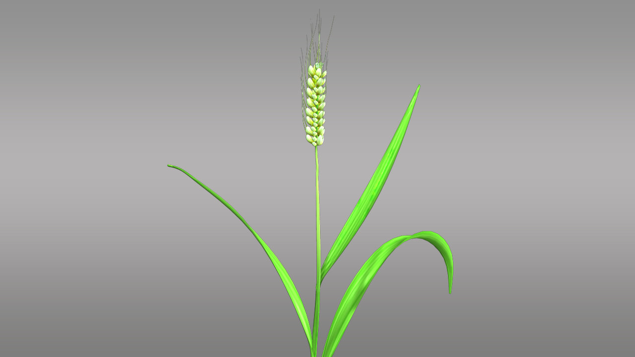 3d triticum cereal wheat model
