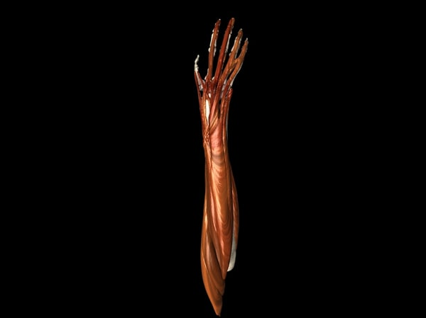 muscles hand bones medically 3d 3ds