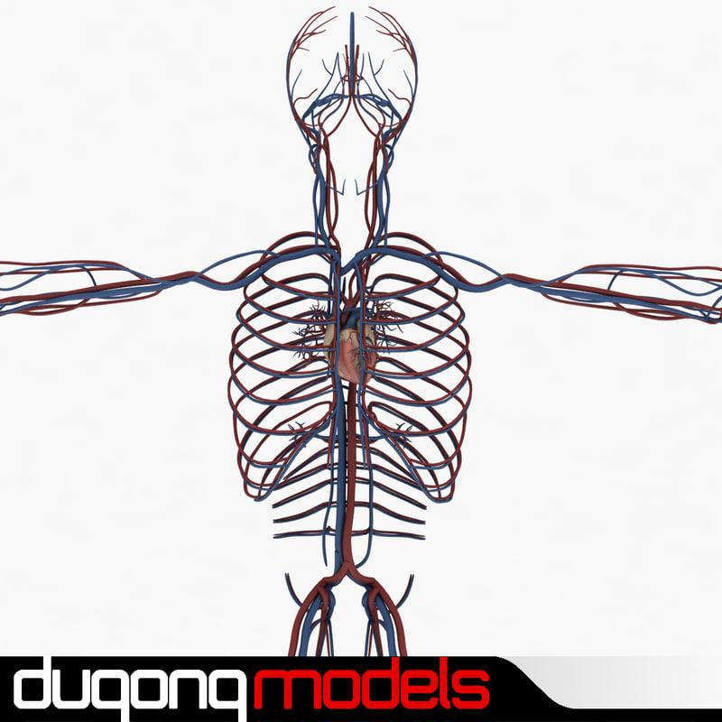 3d model of dugm01 human circulatory