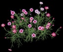 cosmos flower 3D models