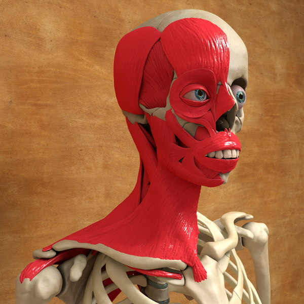 3ds max human face neck muscles