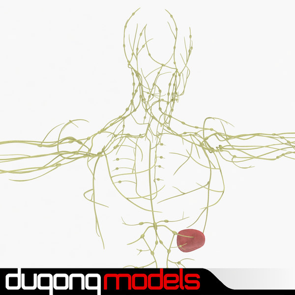 3ds max human lymphatic