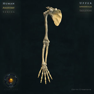 3d model human upper appendicular skeleton bones