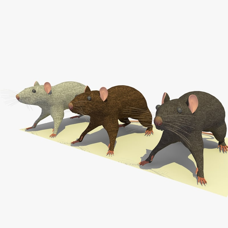 3d model of 3 rats animations