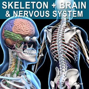 3d human skeletal nervous systems