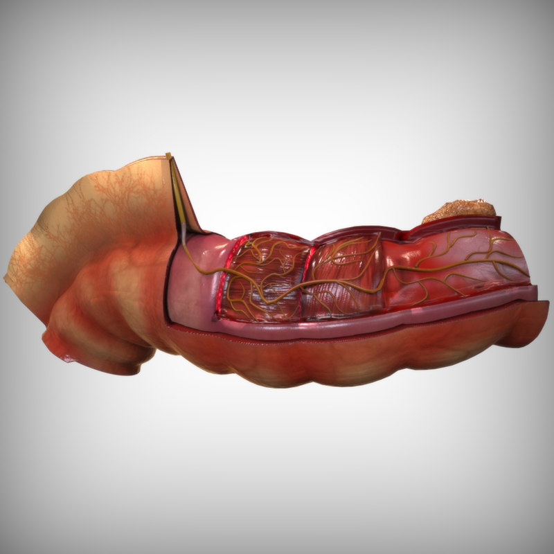 human intestine anatomy 3d max