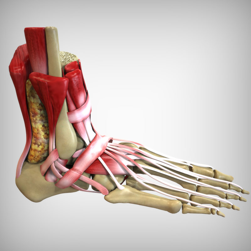 Image result for human foot anatomy