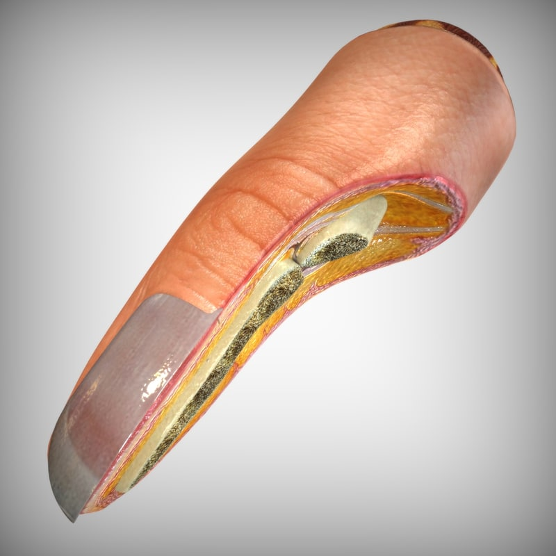 Nail Finger Anatomy 3d Model
