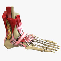 human foot anatomy 3d model