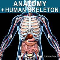 human anatomy max