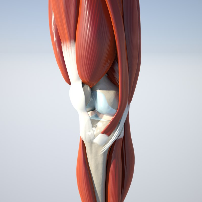 Luxury 3d Knee Anatomy Model Anatomy And Physiology Biology Images