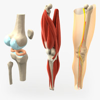3d anatomically correct knee model