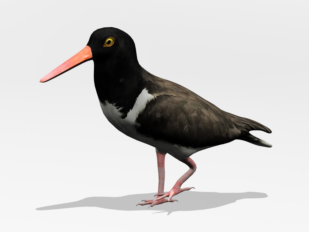 3d model of american oystercatcher