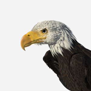 3d model realistic bald eagle