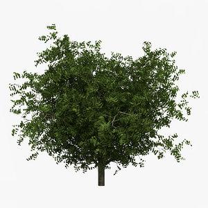 hornbeam tree 3d model