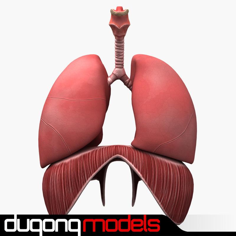 3d model of dugm01 human respiratory