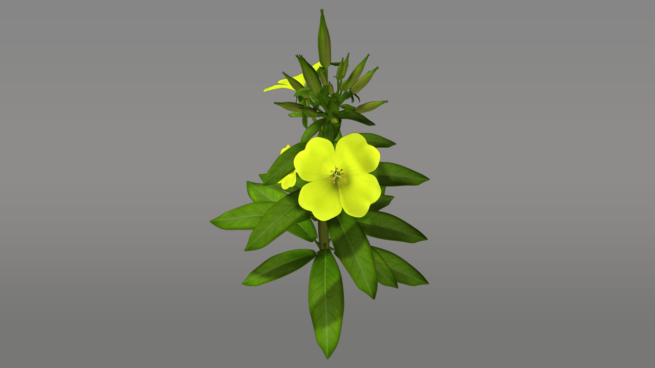 oenothera flowering plants obj