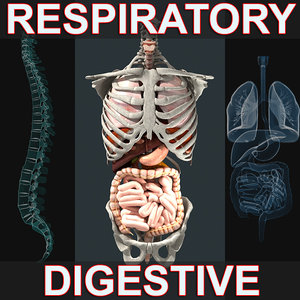 3d model of respiratory digestive