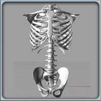 igs torso skeleton 3d model