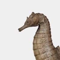 3d seahorse sea horse model