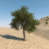 3d model ghaf tree