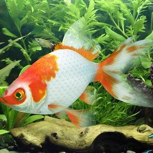 goldfish rigged 3d model